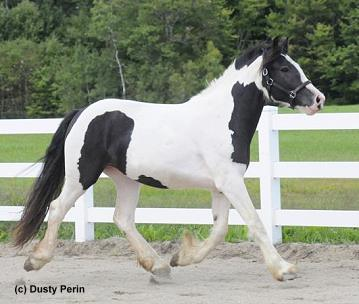 In utero Gypsy foal for sale