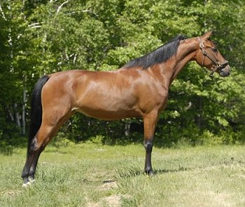 Morgan horse for sale