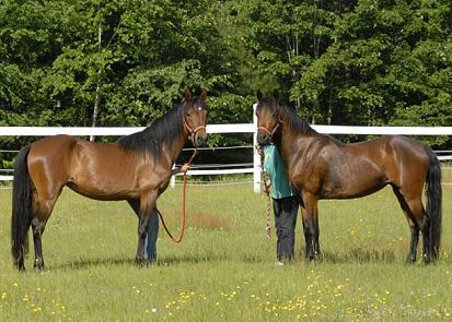 Pair of Morgan Ponies for sale