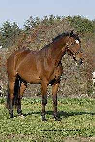 Zweibrucker horse for sale