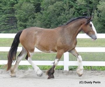Drum In Utero Foal for sale