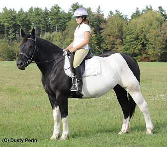 American Warmblood Mare for sale