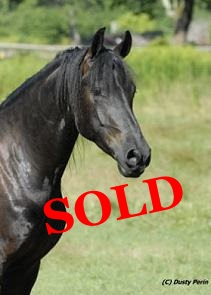 Friesian for sale