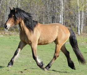 Rare Highland Pony for sale  USA yellow dun