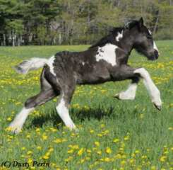Gypsy foal filly for sale maine new hampshire