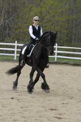 friesian  dressage horse for sale