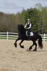 friesian  dressage horse for sale  maine