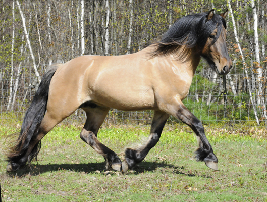 Highland pony stallion at stud USA