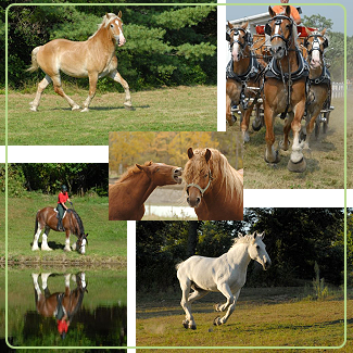 Stock Photography of draft horses