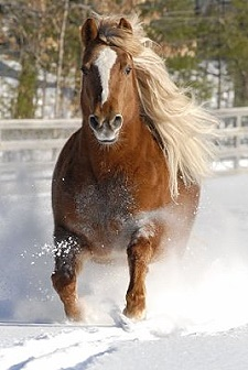 Horse running in snow